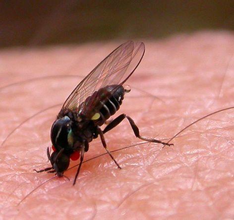 Precauciones para evitar las picaduras de la mosca negra
