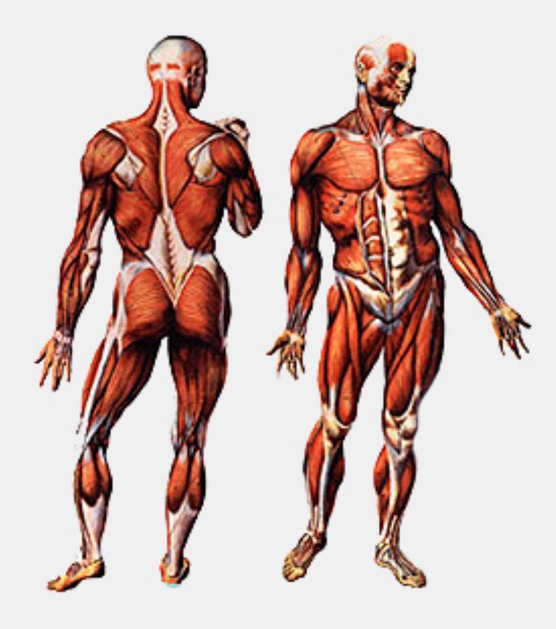 Acción de las cadenas musculares en el deporte